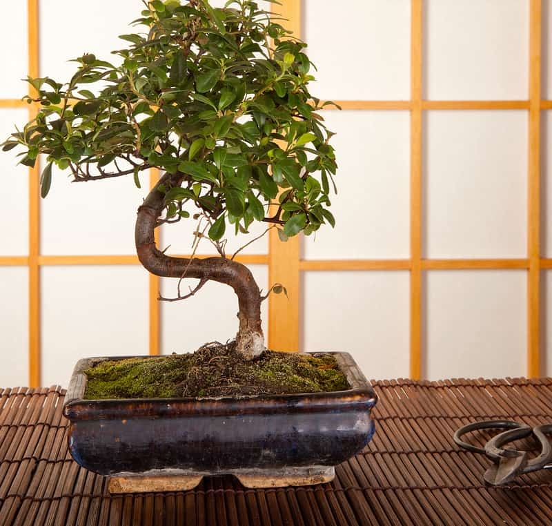 Additional Care Requirements for Bonsai