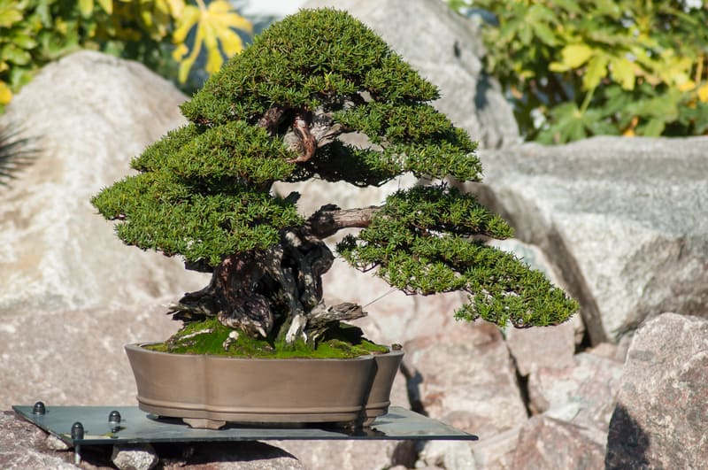 Why Is Your Bonsai Tree Brittle