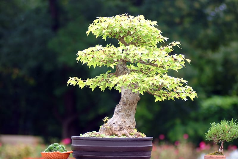 How Long does it Take for a Bonsai Tree to Fully Grow