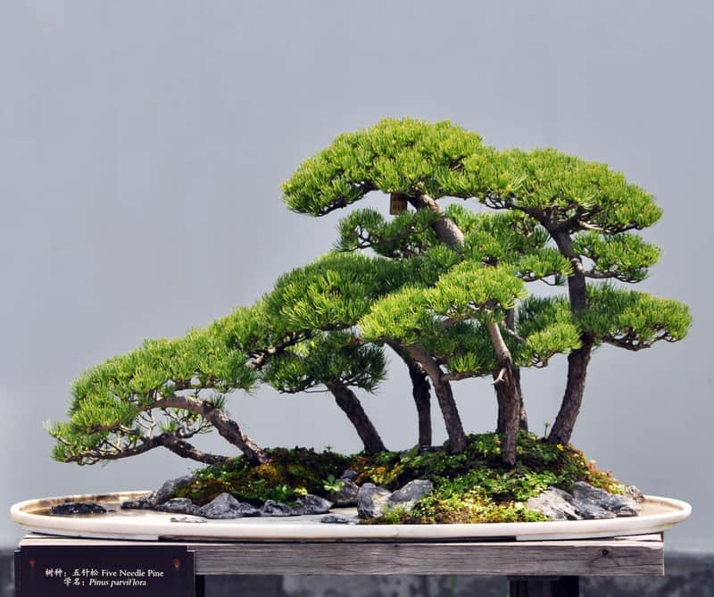 How Much Sunlight Does a Bonsai Tree Need