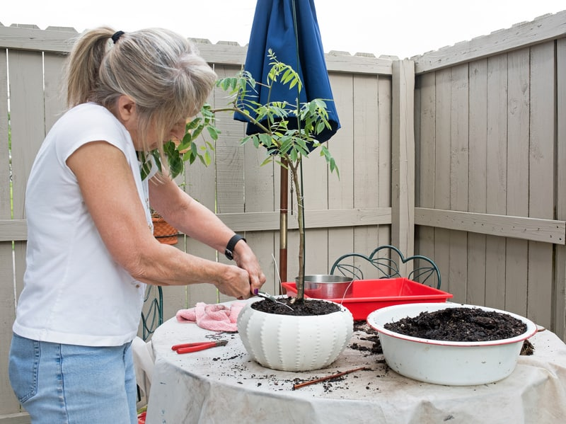 How to Water a Wisteria Bonsai