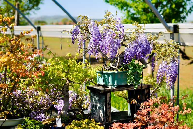 Growing Methods for Wisteria Bonsai