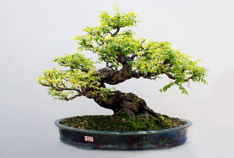 Can You Use Baby Bio on Bonsai Trees