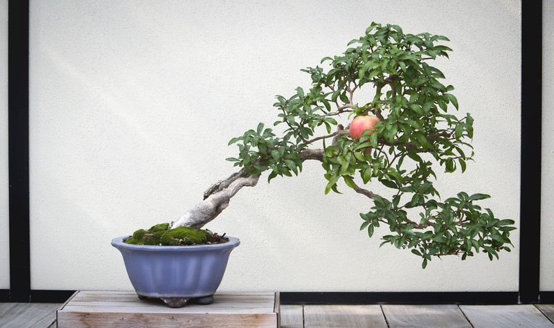 different kind of bonsai trees