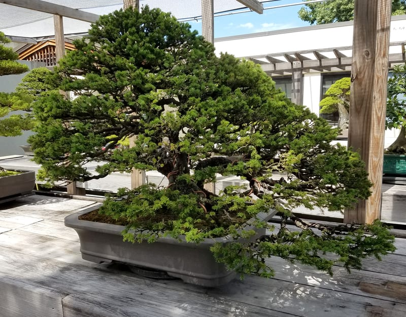 Additional Way to Care for Your Juniper Bonsai Tree