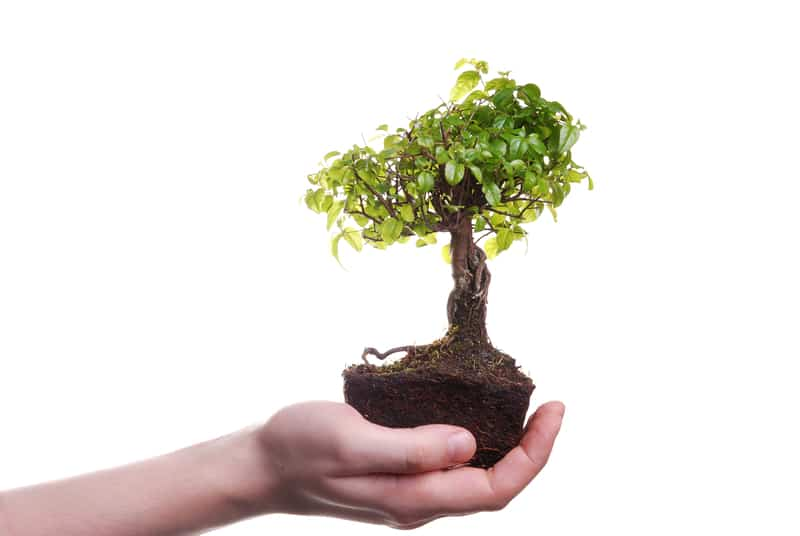 How Quickly can a Bonsai Grow from a Seed