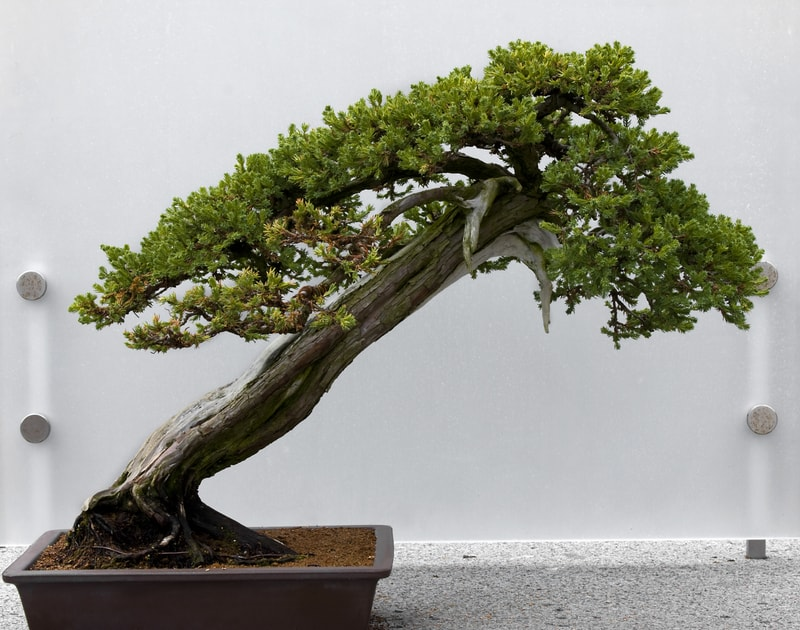 How Long Can Bonsai Go Without Water
