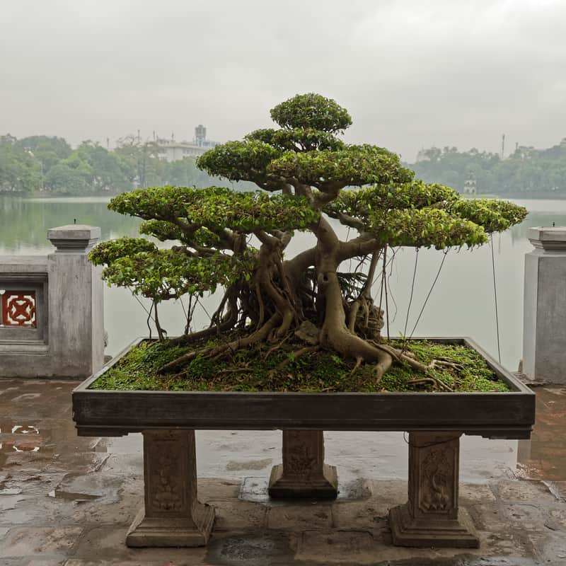 Why Is Your Bonsai Tree Drying Out