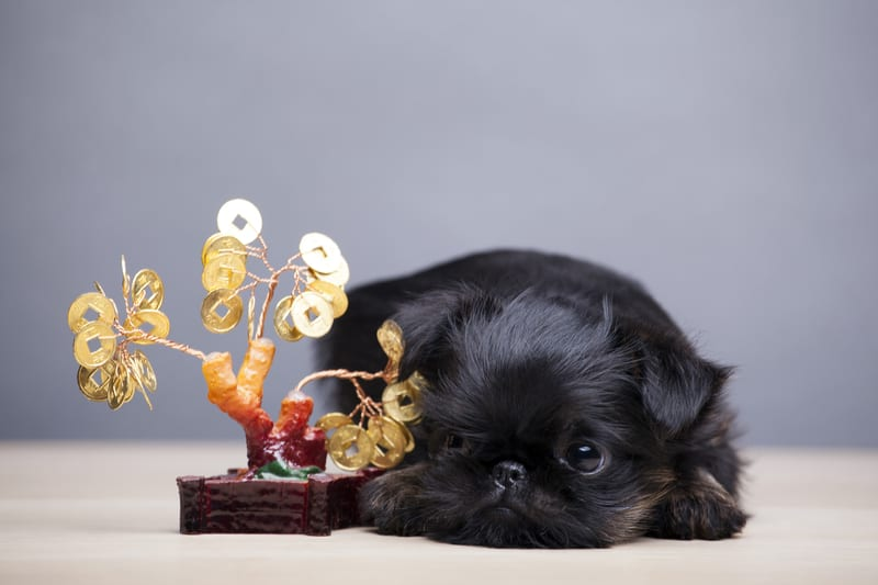 Are Ficus Bonsai Trees Poisonous to Dogs