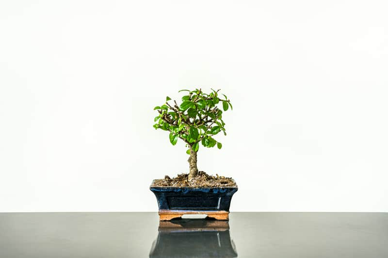Ficus Bonsai Trees Are Poisonous to Dogs