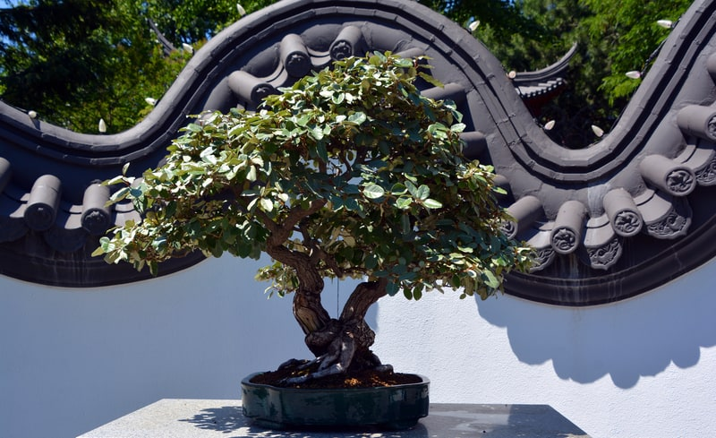Are Bonsai Trees a Good Gift