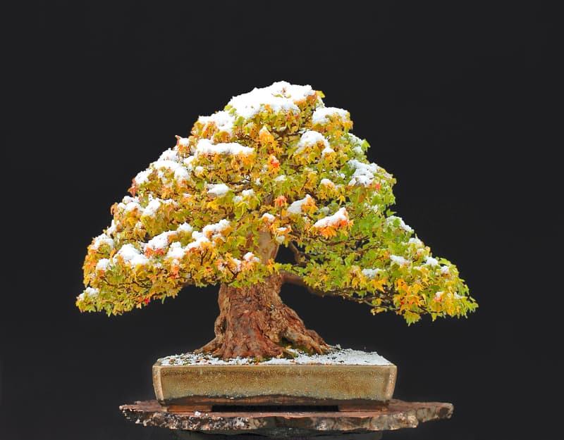 How to Protect Bonsai in Winter