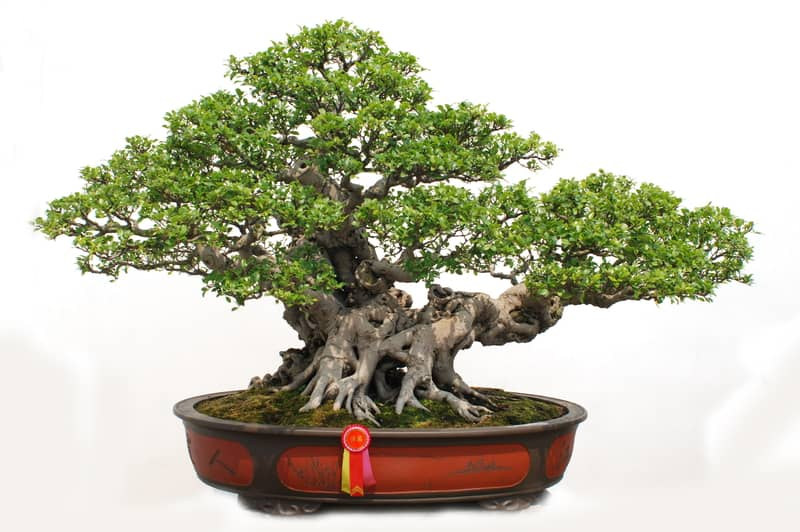 Growing A Pinus Aristata Bonsai From Seed