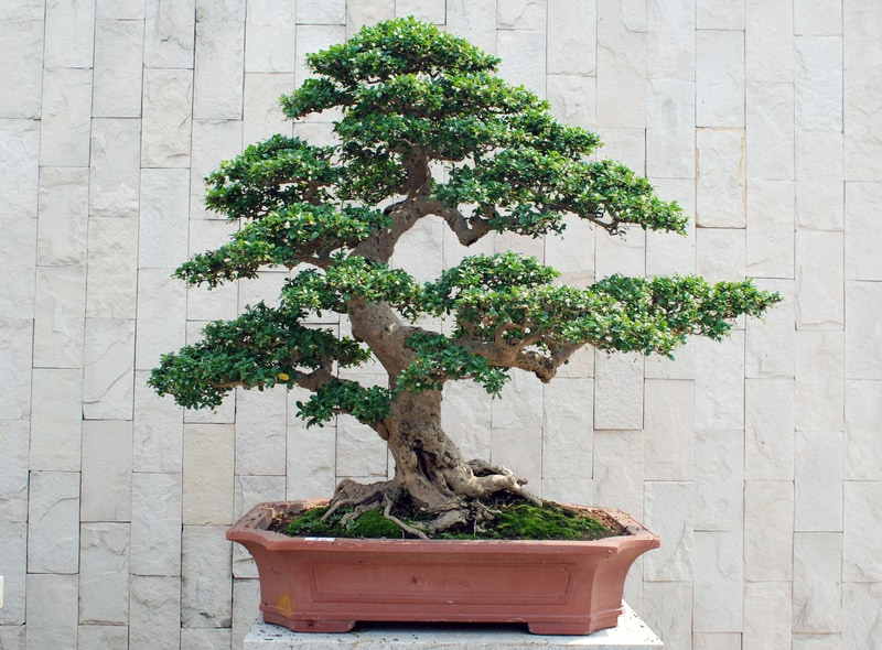 Why Are Bonsai Trees So Expensive