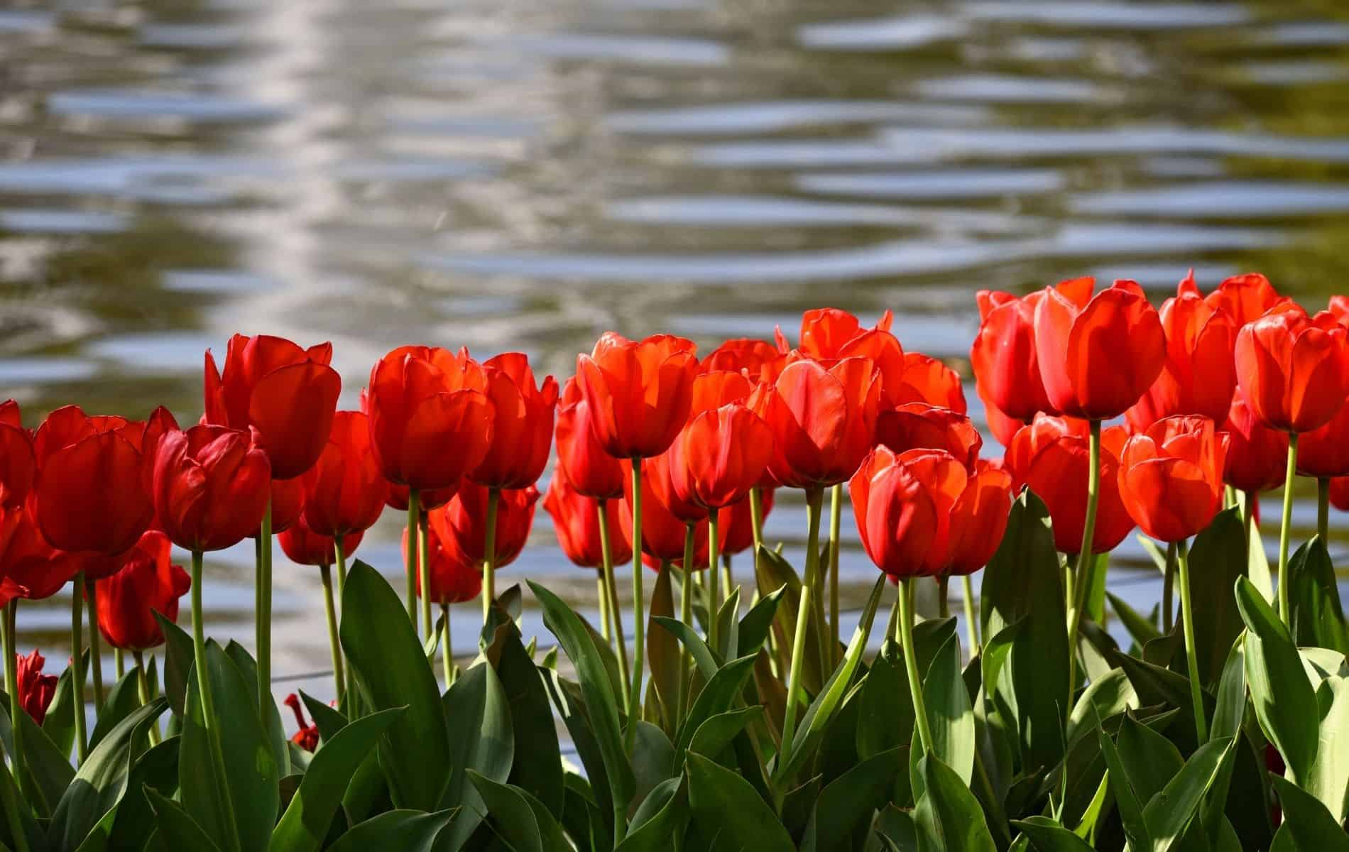 Can Potted Tulips Be Planted in The Ground