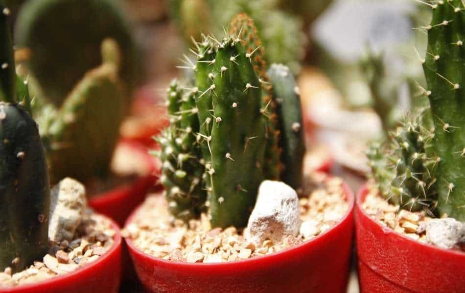 How Long Will It Take Before a Small Cactus Starts Growing