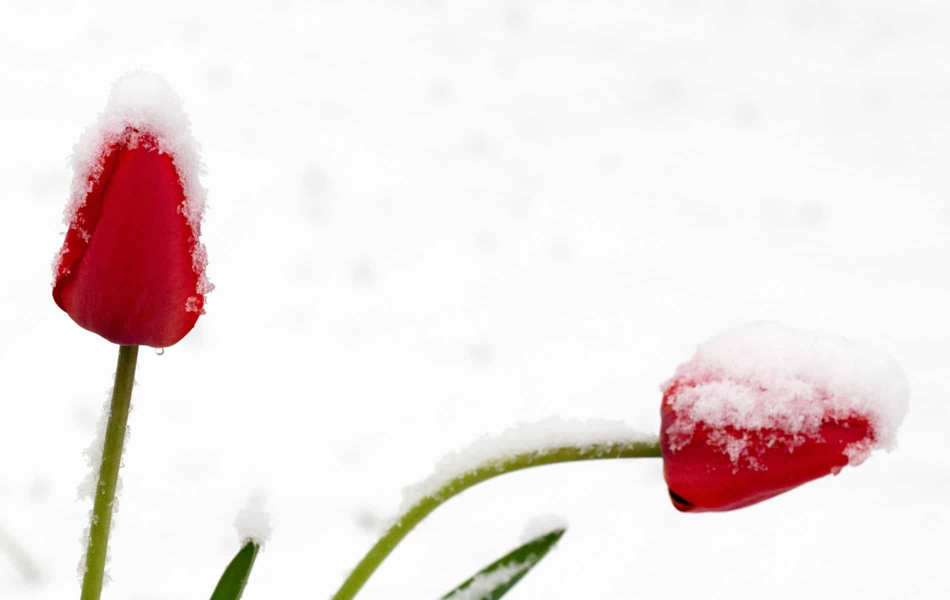 What Temperature Can Tulips Survive