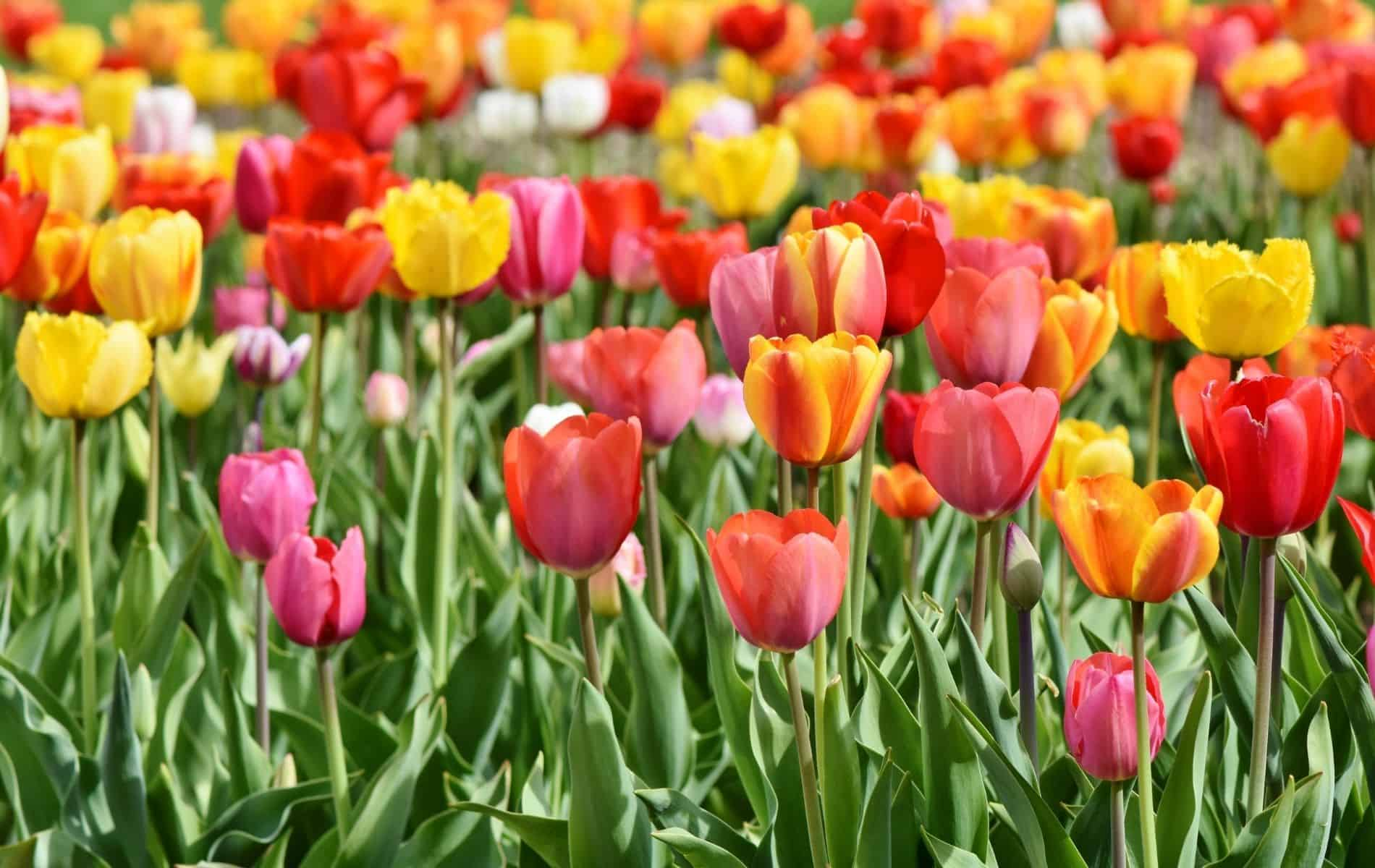 Which Country Is Famous for Growing the Tulip Flowers