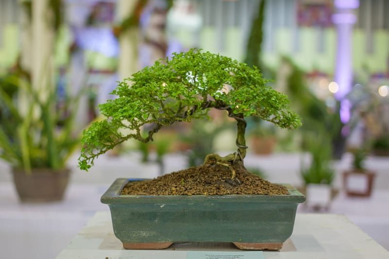 Generalized Care Requirements for Indoor Bonsai