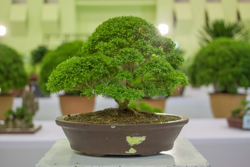 What Bonsai Trees Can Be Kept Indoors